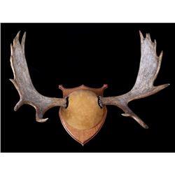 Alaskan European Moose Rack Trophy Rack