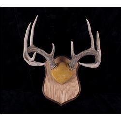 5 X 5 Trophy White Tail Antler Wall Mount