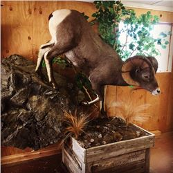 Life Sized Sheep, Deer, or Antelope Mount from Nelson's Taxidermy