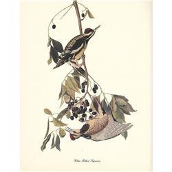 c1950 Audubon Print, Yellow-Bellied Sapsucker