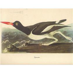 c1950 Audubon Print, Oystercatcher