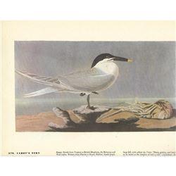 c1946 Audubon Print #279 Cabot's Tern