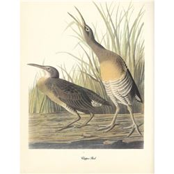 c1950 Audubon Print, Clapper Rail