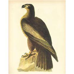 c1946 Audubon Print, Bald Eagle #11