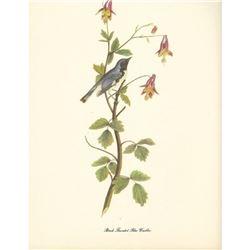 c1950 Audubon Print, Black Throated Blue Warbler