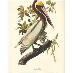 c1950 Audubon Print, Brown Pelican