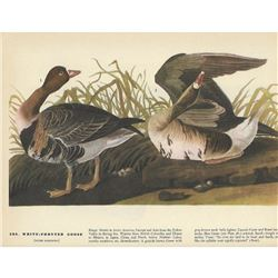 c1946 Audubon Print #286 White-Fronted Goose