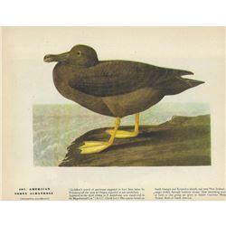 c1946 Audubon Print #407 American Sooty Albatross