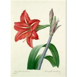 After Pierre-Jospeh Redoute, Floral Print, #4 Amaryllis bresilienne (Amaryllis)
