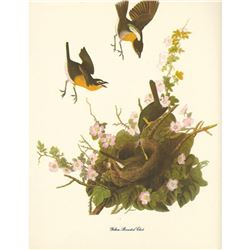 c1950 Audubon Print, Yellow-Breasted Chat