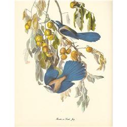 c1950 Audubon Print, Florida or Scrub Jay