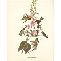 1950 Audubon Print, Anna's Hummingbird
