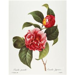 After Pierre-Jospeh Redoute, Floral Print, #16 Camelia panache