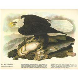 c1946 Audubon Print, Bald Eagle #31