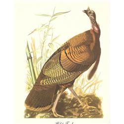 c1950 Audubon Print, Wild Turkey