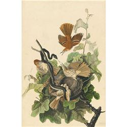 c1946 Audubon Print #116 Brown Thrasher