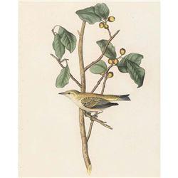 c1946 Audubon Print 154 Tennessee Warbler
