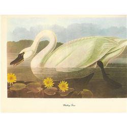 c1950 Audubon Print, Whistling Swan