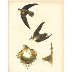 c1946 Audubon Print #158 Chimney Swift (x8)