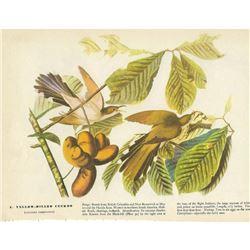 c1946 Audubon Print, Yellow-Billed Cuckoo
