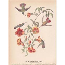 c1946 Audubon Print #184 Black-Throated Mango