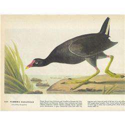 c1946 Audubon Print #244 Florida Gallinule