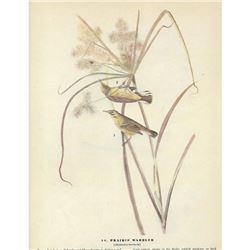 c1946 Audubon Print, Prairie Warbler