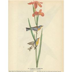 c1946 Audubon Print, Parula Warbler