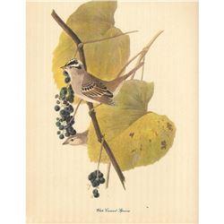 c1950 Audubon Print, White-Crowned Sparrow