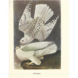 c1950 Audubon Print, White Gyrfalcon