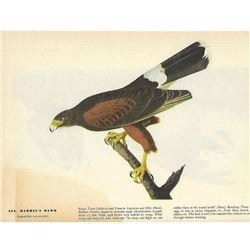c1946 Audubon Print #392 Harris's Hawk