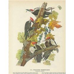 c1946 Audubon Print, Pileated Woodpecker