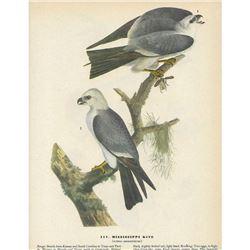 c1946 Audubon Print, Mississippi Kite