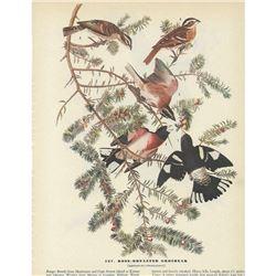 c1946 Audubon Print, Rose-Breasted Grosbeak