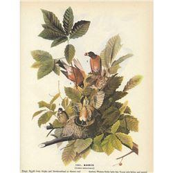 1946 Audubon Print, Robin