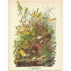 c1946 Audubon Print, Meadow Lark