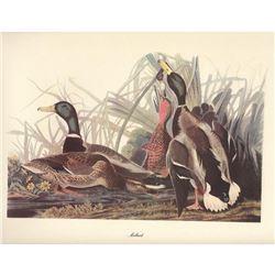 c1950 Audubon Print, Mallard
