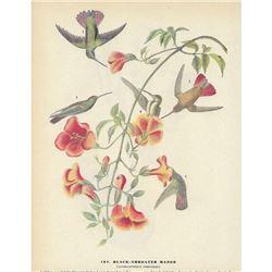 c1946 Audubon Print, Black-Throated Mango