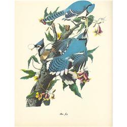 c1950 Audubon Print, Blue Jay