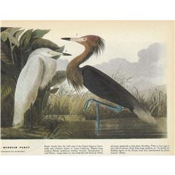 c1946 Audubon Print, Reddish Egret