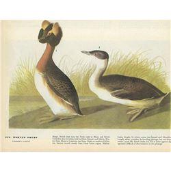 1946 Audubon Print, Horned Grebe