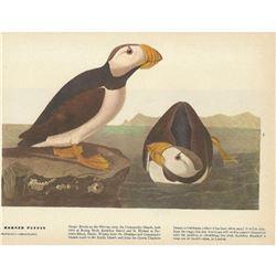 c1946 Audubon Print, Horned Puffin