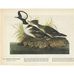 c1946 Audubon Print, Hooded Merganser
