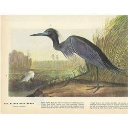 c1946 Audubon Print, Little Blue Heron