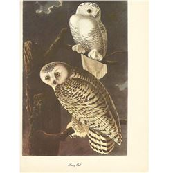 c1950 Audubon Print, Snowy Owl