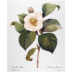 After Pierre-Jospeh Redoute, Floral Print, #14 Camelia blanc (white Camelia)
