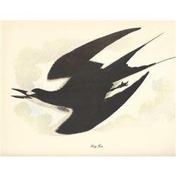 c1950 Audubon Print, Sooty Tern