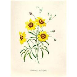 After Pierre-Jospeh Redoute, Floral Print, #24 Corcopsis elegant (Tickseed)