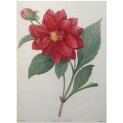 After Pierre-Jospeh Redoute, Floral Print, #30 Dalhia double (double Dahlia)