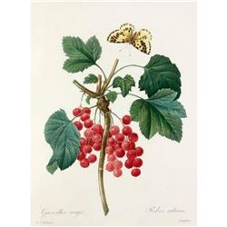 After Pierre-Jospeh Redoute, Floral Print, #51 Grosseiller rouge (Ribes rubrum)
